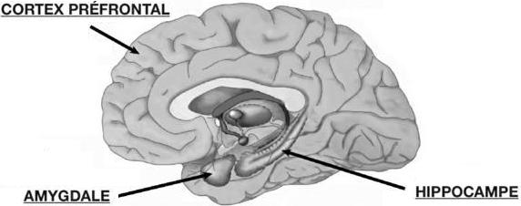 Cerveau - Cortex Hippocampe Amygdale
